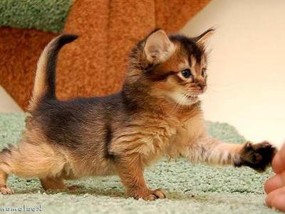 Сомалийская кошка: характер и описание сомали