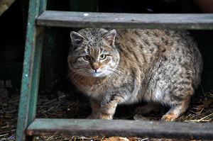 Степной кот - редкие кадры в природе