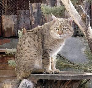Как выглядит степной кот (пятнистая кошка)