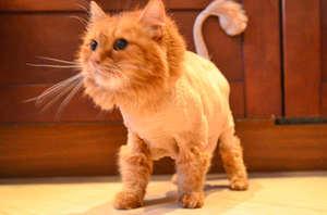 Модные стрижки кошкам
