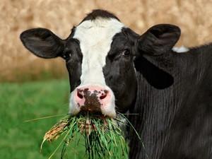 Корова пережевывает траву