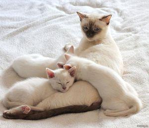 Тайская кошка и котята окраса фавн-поинт