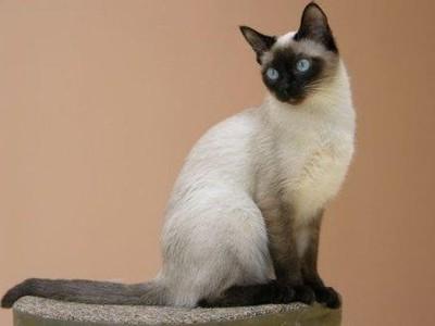 Тайская кошка. Описание породы и характера