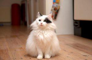Как ухаживать за кошкой турецкая ангора