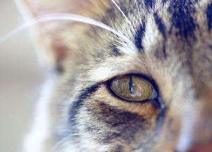 Почему могут слезиться глаза у кошки