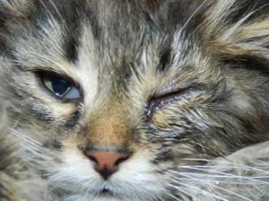 Что делать, если глаза у кошки слезятся
