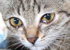 Ярко выраженная слезливость глаз у кошки - причины