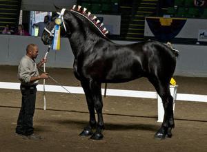 Першерон – порода самых больших лошадей
