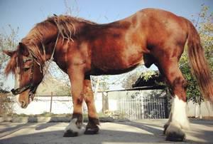 Советская тяжеловозная – порода самых больших лошадей