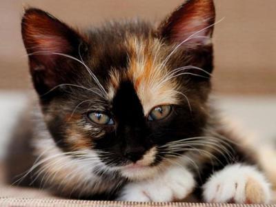 В чем уникальность трехцветной кошки и кота. Приметы о них
