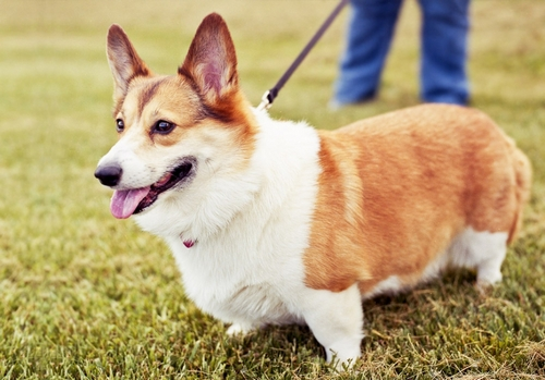 В каком уходе нуждается порода собак корги