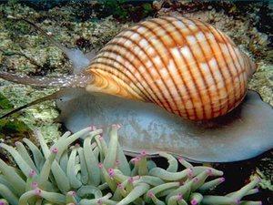 Виды морских улиток