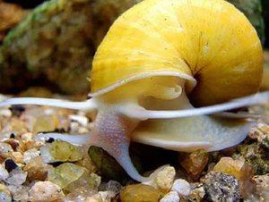 Виды пресноводных морских улиток