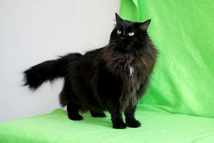 Черная молодая кошечка