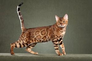 Список дорогих пород кошек