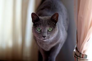 Русская голубая кошка: описание