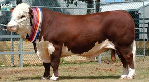 Коровы Герефорды - особенности содержания