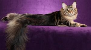 Характеристика и описание породы кошек Мейн-кун