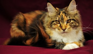 Легенды о появлении в мире кошек породы Мейн-кун