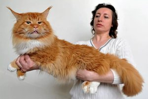 Какие окрасы бывают у котов Мейн-кун