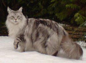 Окрасы котов Мейн-кун