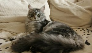 Характер кошек Мейн-кун
