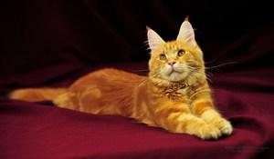 Содержание кошек породы Мейн-кун