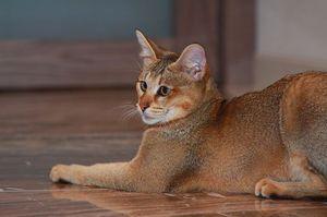 Кошка породы Чаузи