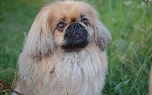 Характерные черты собаки пекинес
