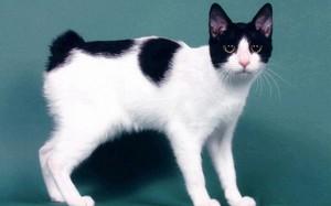 Кошка японский бобтейл -интересная порода