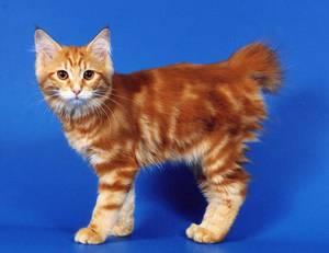 Японский бобтейл -порода кошки