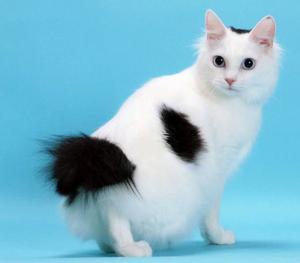 Кошка японский бобтейл -интересная кошка