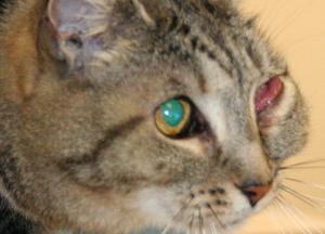 Проблемы с глазами у кошек