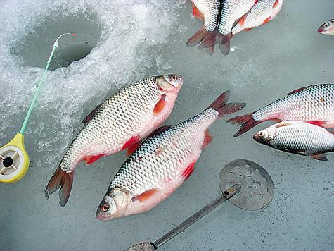 Пара мелких плотвичек по первому льду