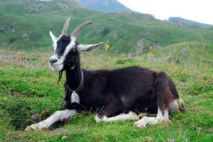 Альпийские козы-уход