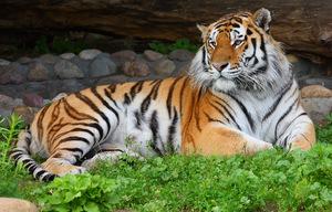 Амурский тигр отдыхает