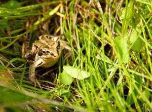 Травяная лягушка в естественных условиях