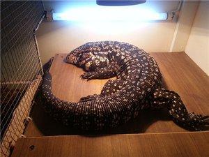 Ящерице Tegu - уход и кормление