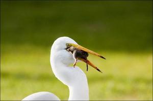 Образ жизни белого аиста