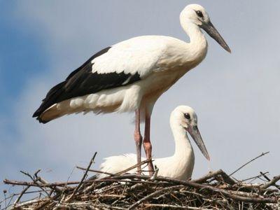Белый аист: описание птицы, где живёт и чем питается