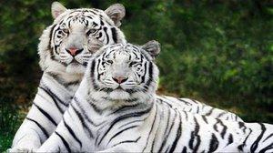 Необычный окрас шерсти белого бенгальского тигра