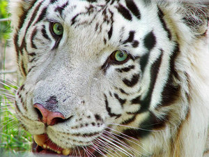 Белый бенгальский тигр – животное, занесенное в Красную книгу