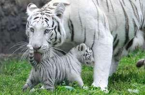 Питание и образ жизни белого тигра