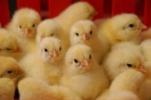 Бройлерные цыплята - как выращивать в домашних условиях