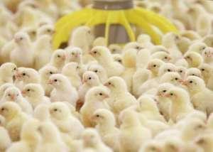Цыплята-бройлеры у заводчиков