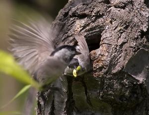Птенец кормится