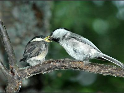 Буроголовая гаичка: питание, размножение пухляка, внешний вид птицы
