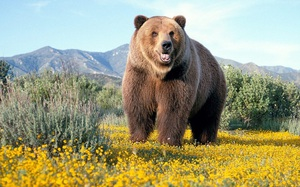 Описание породы бурых медведей