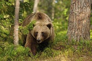 Описание образа жизни бурых медведей