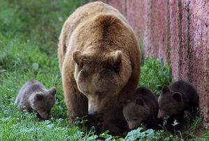 Особенности размножения бурых медведей